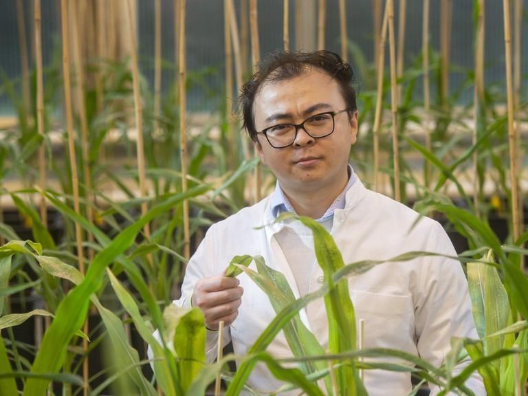 Right click to download: Inmitten von jungen Maispflanzen: