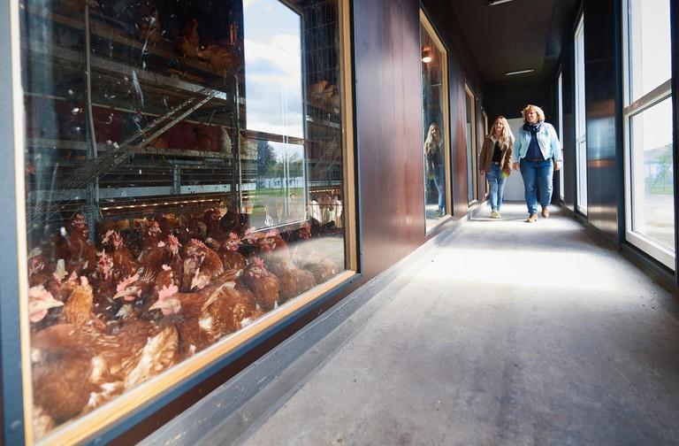 Right click to download: Im Besuchergang des neuen Hühnerstalls