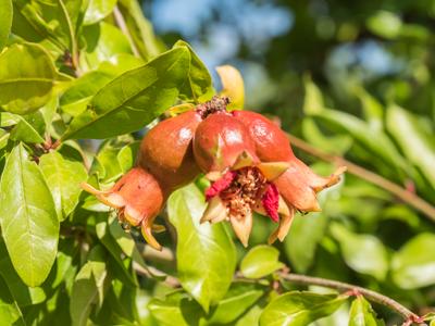 Right click to download: Granatapfelbäume