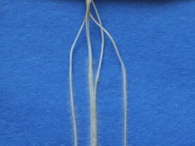 alte Gerstenwurzeln der Mutante egt2: - Sie wächst strikt nach unten [hypergravitrop]. (© Foto: Gwendolyn Kirschner / INRES)