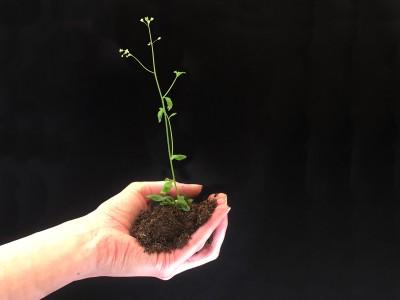 - eine der Pflanzenarten, bei denen die Forschenden den neuen Mechanismus feststellten (© Foto: Gabriel Schaaf / Uni Bonn)