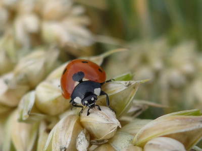 such as ladybirds can help keep down the population of pests such as aphids on wheat (© Photo: Severin Hatt, University of Bonn)