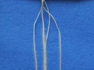barley roots of mutant egt2: - It grows strictly downwards [hypergravitropic]. (© Foto: Gwendolyn Kirschner / INRES)